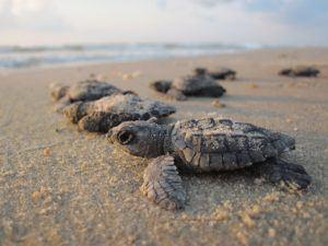 Turtle Season on Banderas Bay